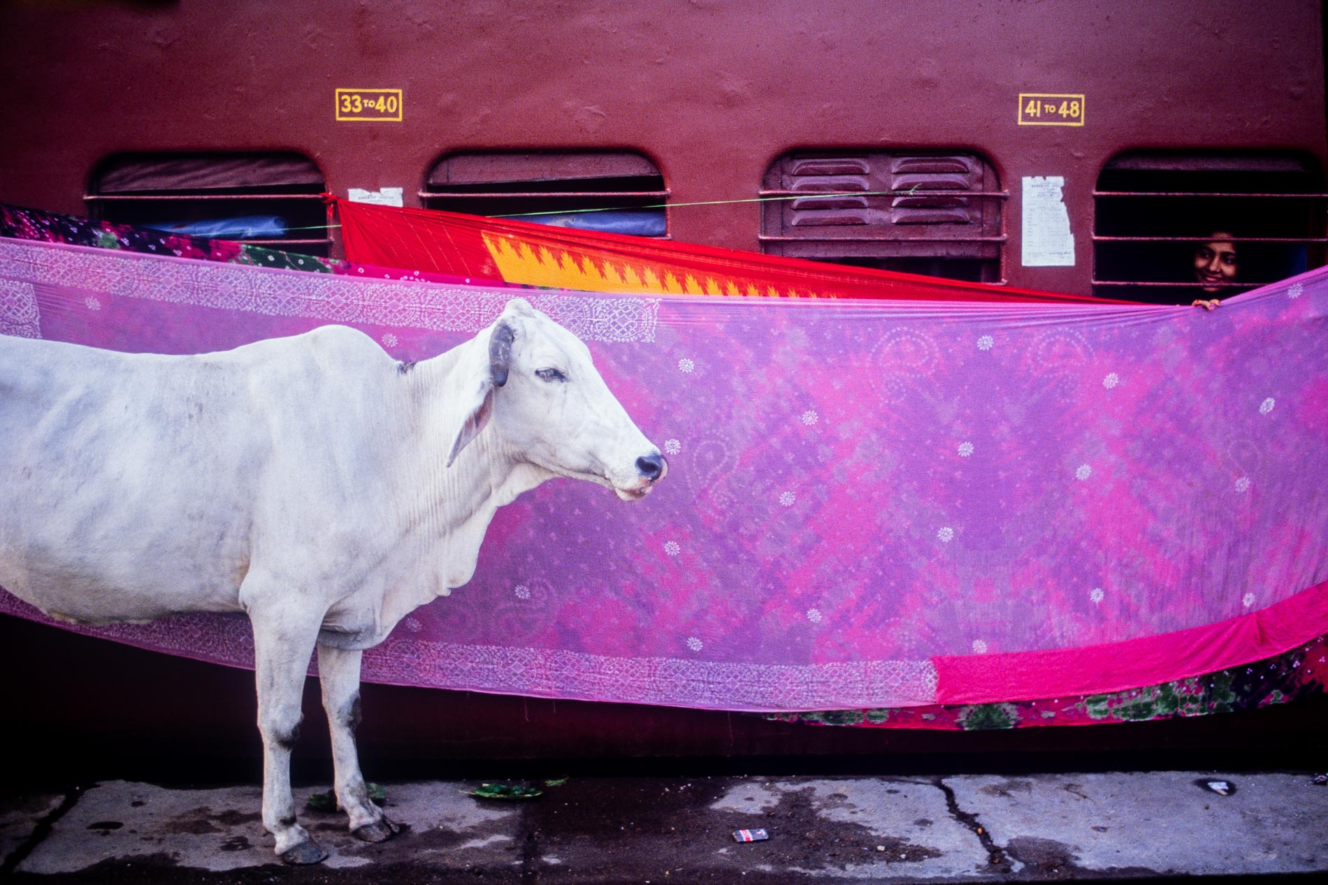 cow_calcutta_india-2-copy
