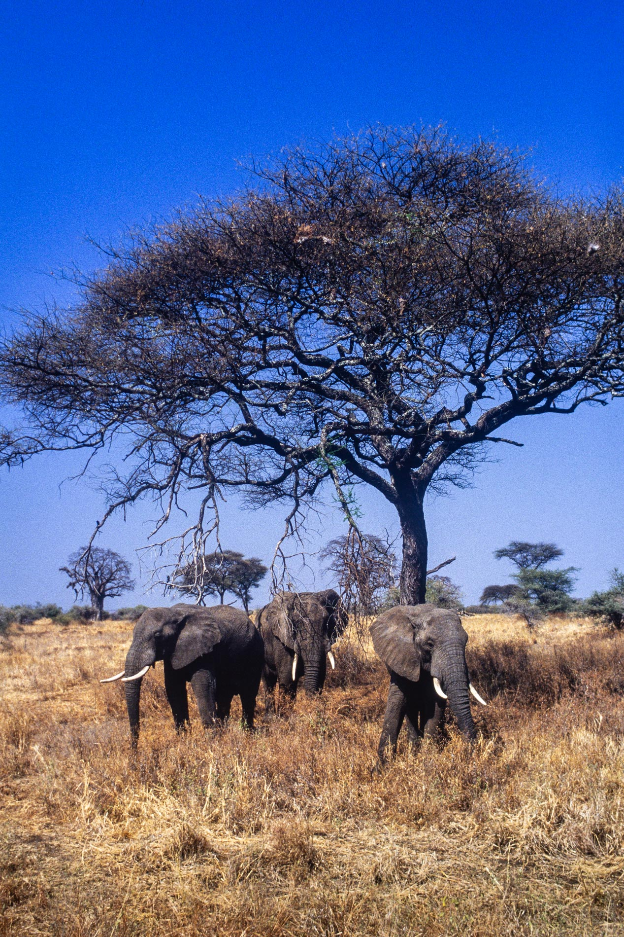 ngorogoro_elephants